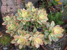 Aeonium Kiwi Pinwheel Succulent 1 Plant Rooted in Peat Pellet | eBay