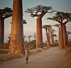 Mighty baobabs.