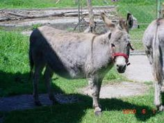 Rosemary and Parsley Minis is an adoptable Donkey Donkey in Dimondale, MI. Rosemary and Parsley came to us because their owner was moving and could no longer care for them. They are sisters ages 6 and...