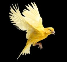 images canaries in the coal mine photos of flying canaries resmi 500x463