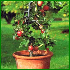 Fruit plants from the bucket Ficus, Fruit Plants, Terrace, Fig Tree, Apple Tree, Little Gardens, Home Architect, Exotic, Houseplants