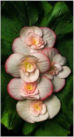 Rieger Begonia (Begonia X hiemalis)