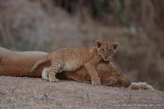 Lions-South-Luangwa