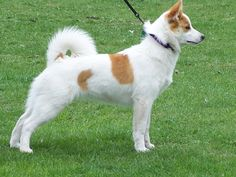 norrbottenspets - Google Search