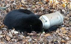 A male black bear rests with its head stuck in a milk can near Thurmont, Md. Maryland state wildlife workers used an electric hand saw to remove the can. DNR spokeswoman Karis King says the bear was calm, but the workers tranquilized him for safety reasons before carefully removing the can.