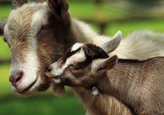 Baa, Baa Mama! Goats Remember Their Babies' Cries   LiveScience