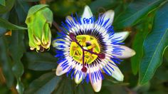 Passion of the passion fruit flower