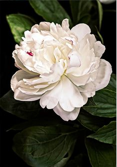 flower photography flower photograph fine art photography nature wall art print wall decor, White Peony on Black Background