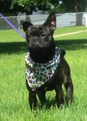 smudge, male, french bulldog/boston terrier, brindle, house trained, dashing in a bandana (waterloo, IA)