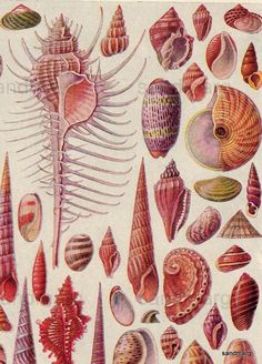 1923 Shells of the World Lithograph by sandmarg on Etsy Shell Art, Beach Art, Sea Shells, Ernst Haeckel, Modern Art Paintings, Paintings For Sale, Natural History, Art Studies, Botanical Art