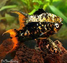 Orangetail Lyretail Molly, Featured item. #orangetail #lyretail #molly #fish…