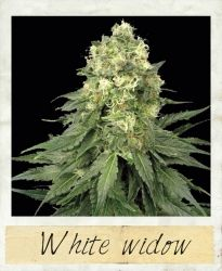 """The White Widow has been the backbone of the Dutch coffee-shop industry and the first of the """"white weed"""" strains to become an all-round commercial success. It is one of the most famous cannabis strains in modern growing."""