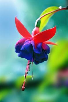 flowersgardenlove: Fuchsia Flowers Garden Amor http:/greenadun.blogspot.com #Flower#Nature#Beauty