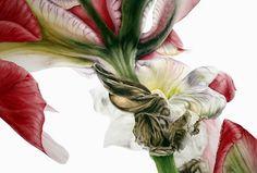 the garden: Peony, Iris & Lily