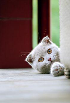 Scottish Fold Kitten On Balcony /Photography By Linda Gavin