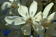 New Mexico's State Flower ~ Yucca