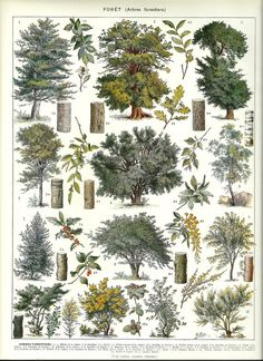 FOREST TREES 1 - Vintage French Botanical Dictionary Print  - 1930s. $14.00, via Etsy.