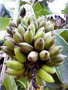 'Pisang Awak', a cooking banana variety Exotic Fruit, Tropical Fruits, Cooking Bananas, Banana Health Benefits, Banana Plants, Types Of Fruit, Plant Information, Fresh Fruits And Vegetables, Edible Garden