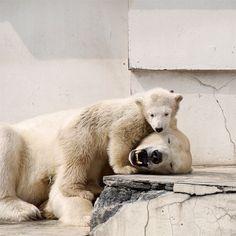 #polarbear #baby #zoo - @chw_nao- #webstagram