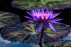 Purple Lily on the pond