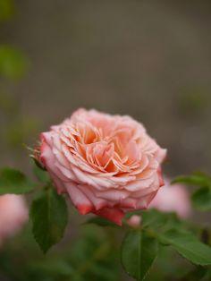 Rosa 'Chic'