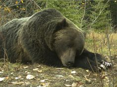 Grizzly bear No. 122 rests in Banff National Park in October 2014.