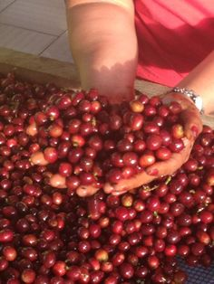 100% ripe berries, the result of the Quintuple Selection Process at San Alberto estate