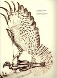 anatomical drawings of birds - Google Search