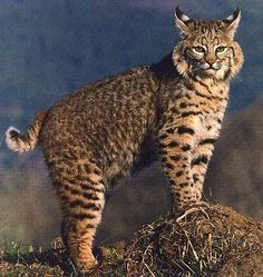 bobcat (Lynx rufus) is a North American mammal of the cat family Felidae. There are 12 subspecies. Weights range from 8 to 40 lbs. Baby Cats, Cats And Kittens, Ragdoll Kittens, Funny Kittens, Bengal Cats, White Kittens, Adorable Kittens, Kitty Cats, Beautiful Cats