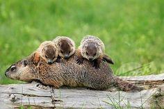 WOODCHUCK  babies.  Cute