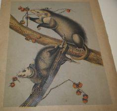 Vintage Virginia Possums Natural History Chromolithograph Print Wild American Animals 1890s Book Plate Vibrant Blue Gray Red Paper Ephemera