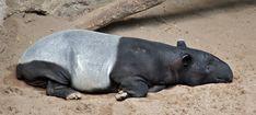 tapirus quies