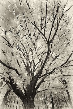 """""""Sepia Tree"""" Black & White Photograph by Marc Garrison on Artful Home"""