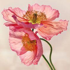 Like Light through Silk - peach / pink translucent poppy floral Art Print
