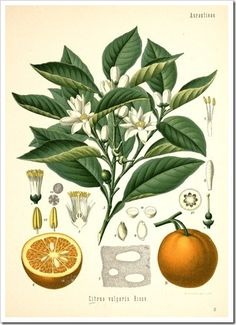 Source listed for free downloadable botanical prints. http://www.botanicus.org/page/303330