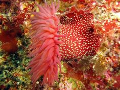 Sea anemones are a group of water-dwelling, predatory animals of the order Actiniaria. They are named for the anemone, a terrestrial flower. Sea anemones are classified in the phylum Cnidaria, class Anthozoa, subclass Zoantharia. [Wikipedia]