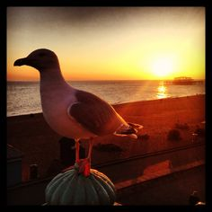 Brighton seagull on the esplanade at sunset (with the Palace Pier in the background)