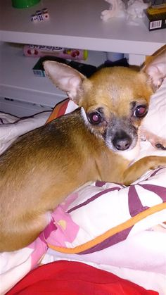 Lost Dog - Chihuahua Short Haired - Markham, ON, Canada L3R 4R1
