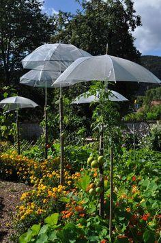 culture des tomates sous parapluie - Potager Wesserling