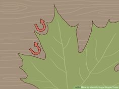 3 Ways to Identify Sugar Maple Trees - wikiHow Tapping Maple Trees, Silver Maple Tree, Tree Id, Growing Tree, Roots, Plant Leaves, Sugaring, Maple Syrup, Canvas Art