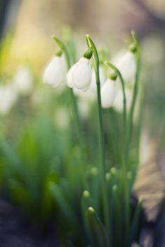 blooms-and-shrooms:  Spring snowdrops by dev1n