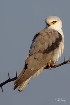 Birds 2, Birds Of Prey, Love Birds, Beautiful Birds, Chow Chow, Colorful Birds, Raptors, Beautiful Creatures, Nature Photography