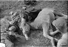 "sytytystulppa: "" A foal napping with Finnish soldiers, Korpiselkä, Russia "" Flu Epidemic, War Image, Vietnam War, World War Ii, Finland, Soldiers, Wwii, Russia, Lion Sculpture"