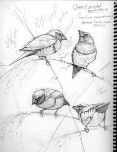 Field journal example. This is a fabulous example of studying the anatomy of a bird, its posturing and personality.