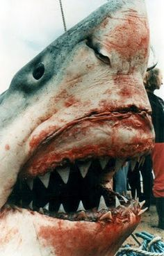Sadly they do not live long enough to achieve the 23 foot mark anymore. This old timer is over 40 years old. Great White shark meets it's demise The Great White, Great White Shark, Orcas, All About Sharks, Megalodon Shark, Underwater Life, Ocean Creatures, Sea Monsters, Shark Week