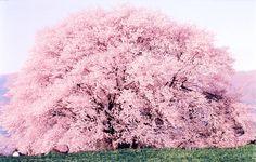 一心行の大桜(熊本県) Pink Blossom Tree, Cherry Blossom Japan, Cherry Blossoms, Pink Wallpaper Iphone, Flowering Trees, Beautiful World, Mother Nature, Scenery, Photos