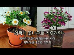 🌱외목대꽃나무로키우기,목마가렛,랜디제라늄,애니시다 데모루 기르기 ,분갈이,수형만들기Growing A flower in My Korea Apartment - YouTube Plants, Gardening, Lawn And Garden, Plant, Planets, Horticulture