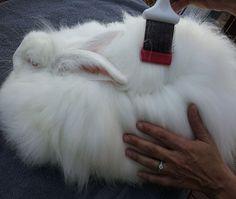 How to Groom an Angora Rabbit