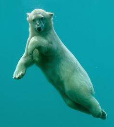Polar Bear Ballet  El magnífico oso polar, actualmente en peligro por los severos deshielamientos árticos.