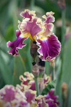500px / Photo Magenta & Yellow Iris by gtncats